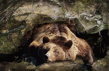 hibernacion de osos aceites poliinsaturados